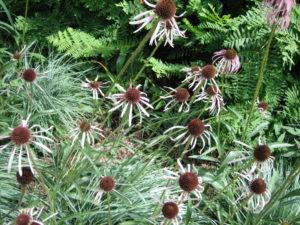 Pale purple coneflower in a garden. (Garden Making photo)