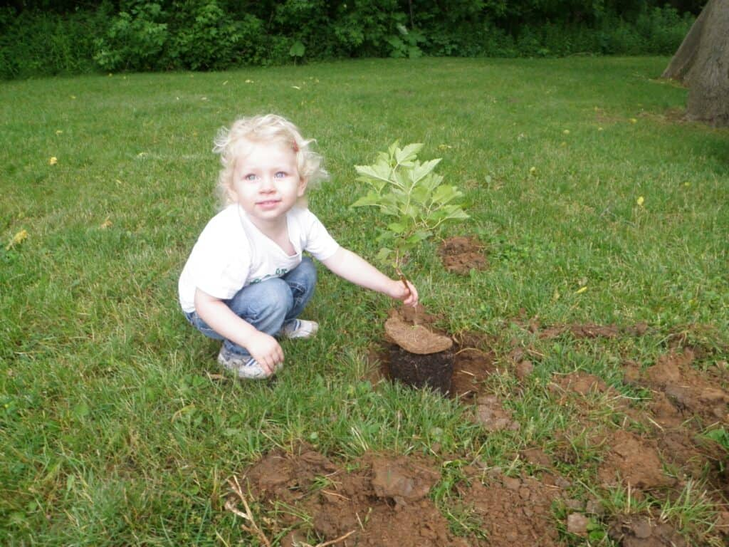 William Street tree being planted by young volunteer in 2012.