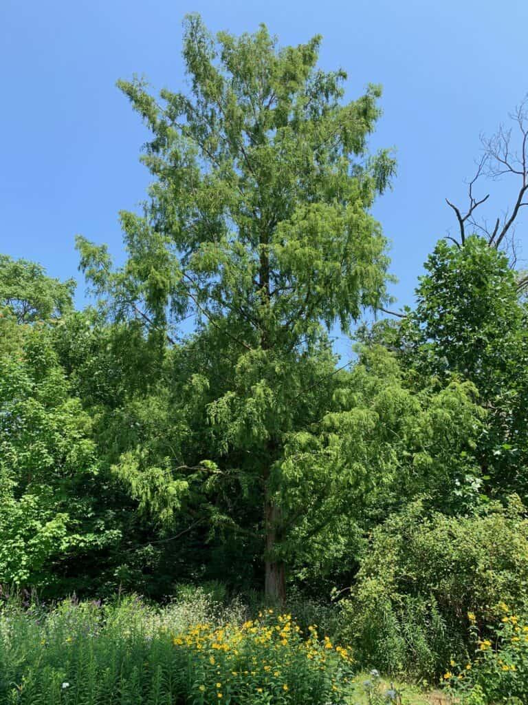 Redwood tree behind pollinator garden at William Street Park.