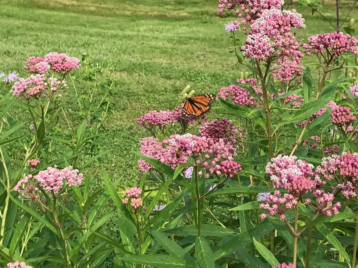 Plants such as swamp milkweed attract monarch butterflies and other pollinators.